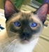 siamese-cat-1428911-m