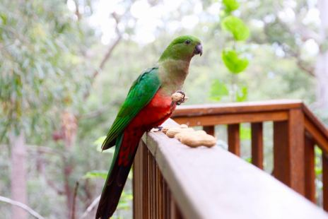 This is Barb, she's a beautiful King Parrot who visits every few days with her boyfriend. You can hand feed them peanuts on the back deck.
