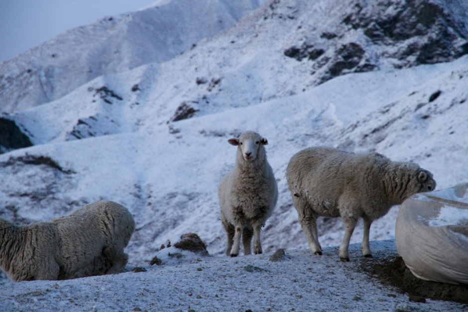 New Zealand Sheep Travel Tips Blog