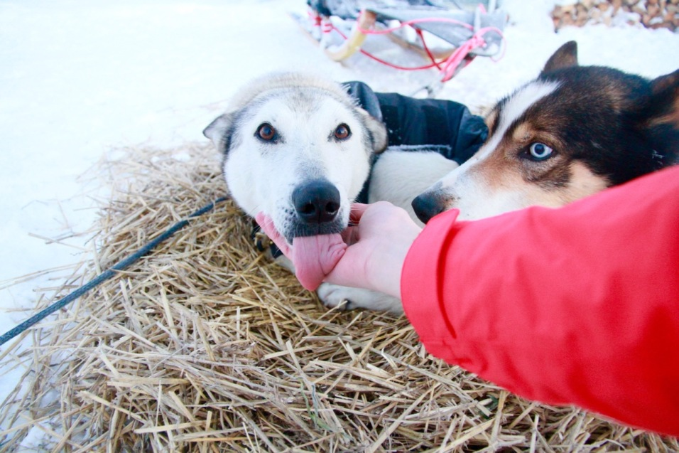 UnderDog NZ Sled Dog Snow Farm New Zealand Wanaka Things To Do