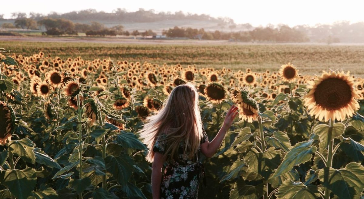 How to find these insanely beautiful sunflowers in Queensland!